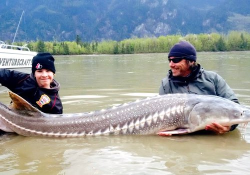 Bc sturgeon fishing trips guided fraser river sturgeon for Sturgeon fishing washington