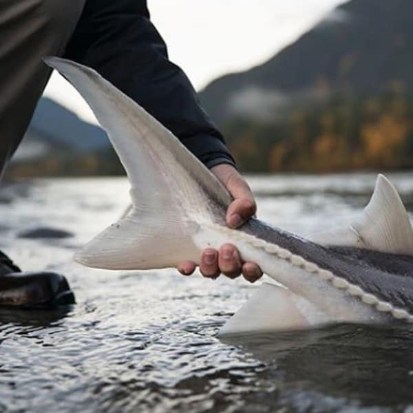 STURGEON FISHING FAQs