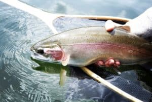 Fly Fishing Rainbow Trout BC